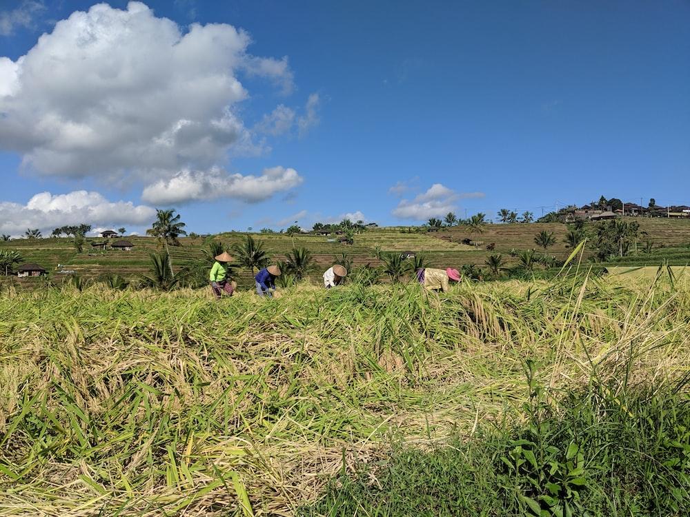 people wearing brown straw hat working on field