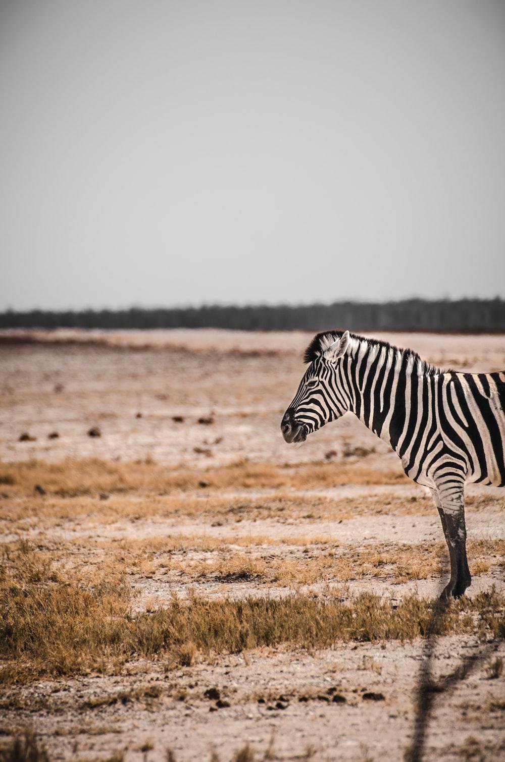 white and black zebra during daytime