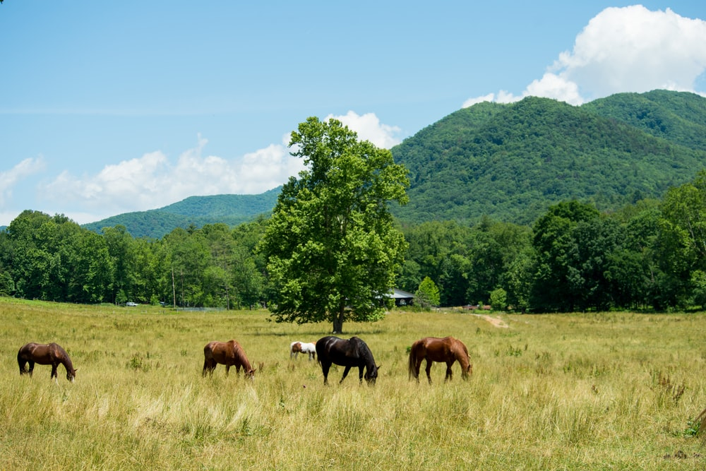 four brown and black horses