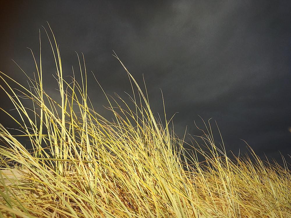 grasses under dark skies