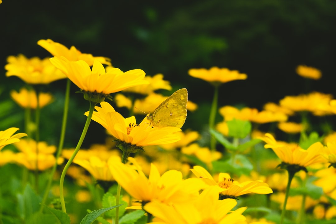 Yellow flower, yellow butterfly