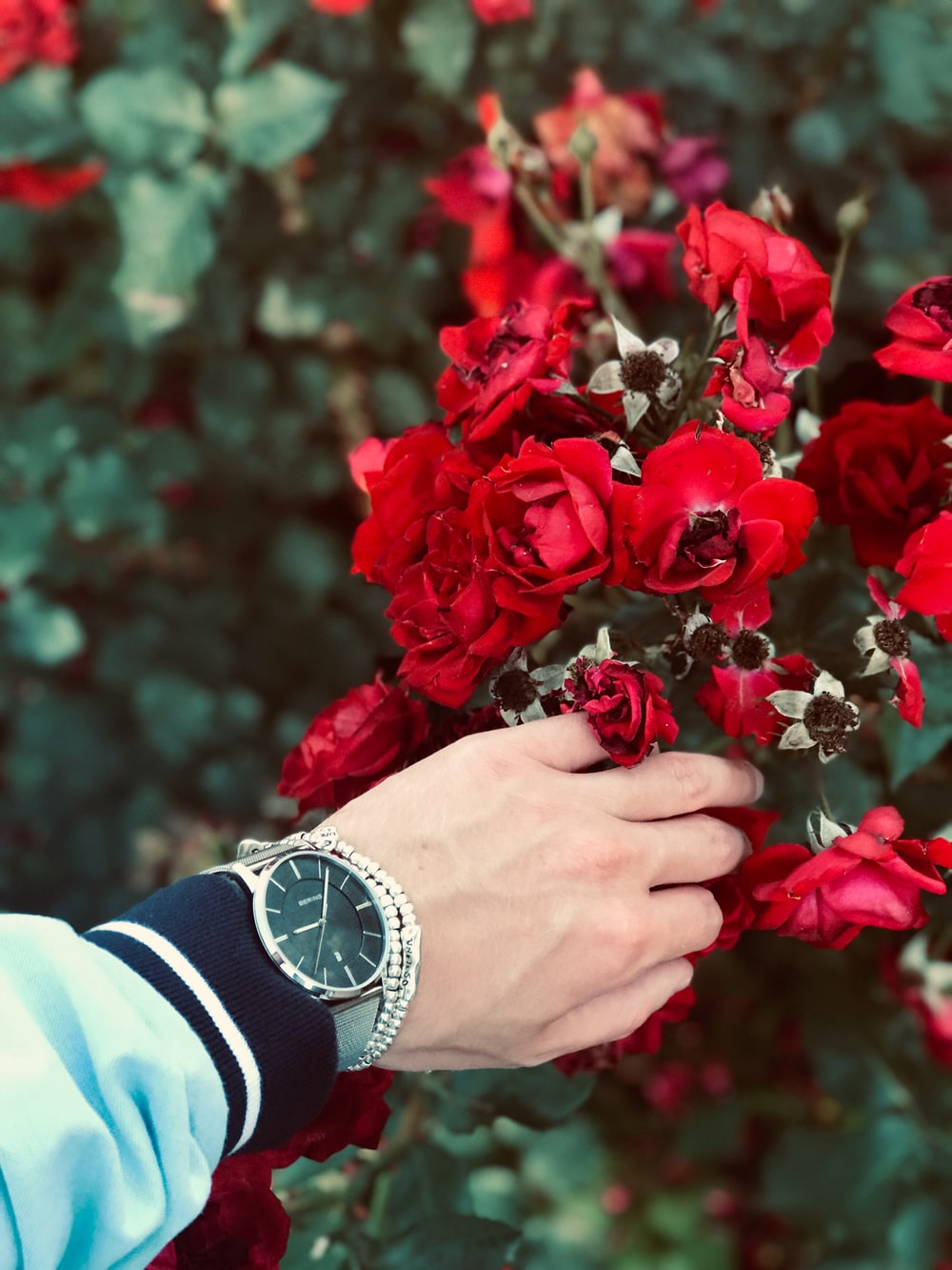 person wearing watch holding red petaled flower
