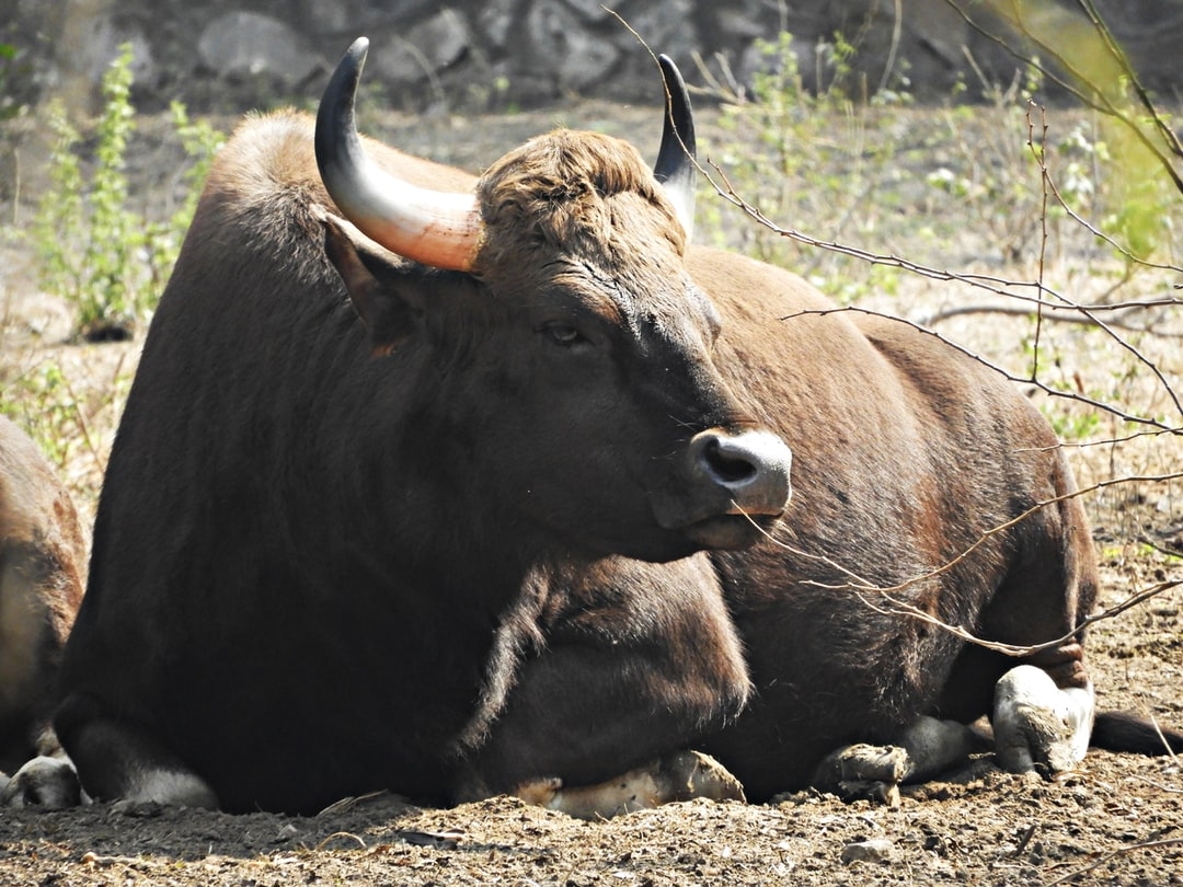 A Gaur - The Indian Bison