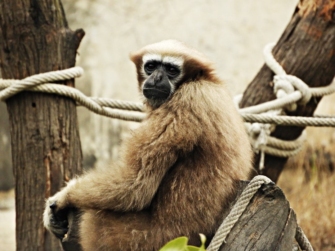 A Gibbon monkey at the zoo