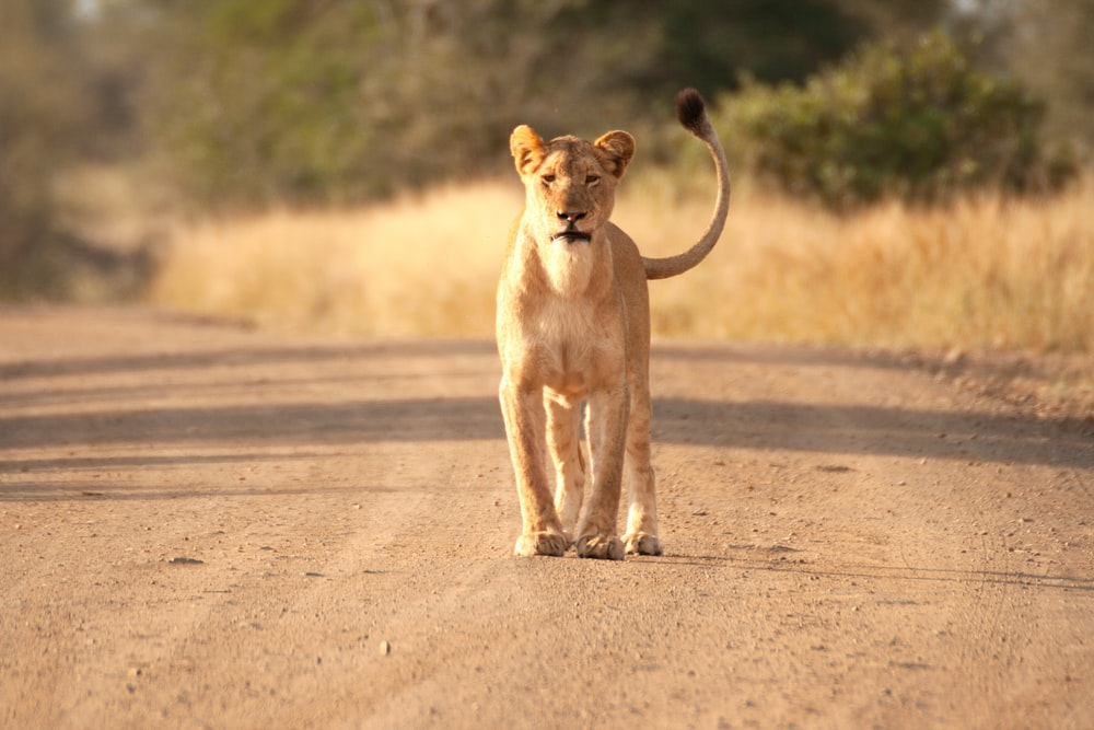 lioness on road
