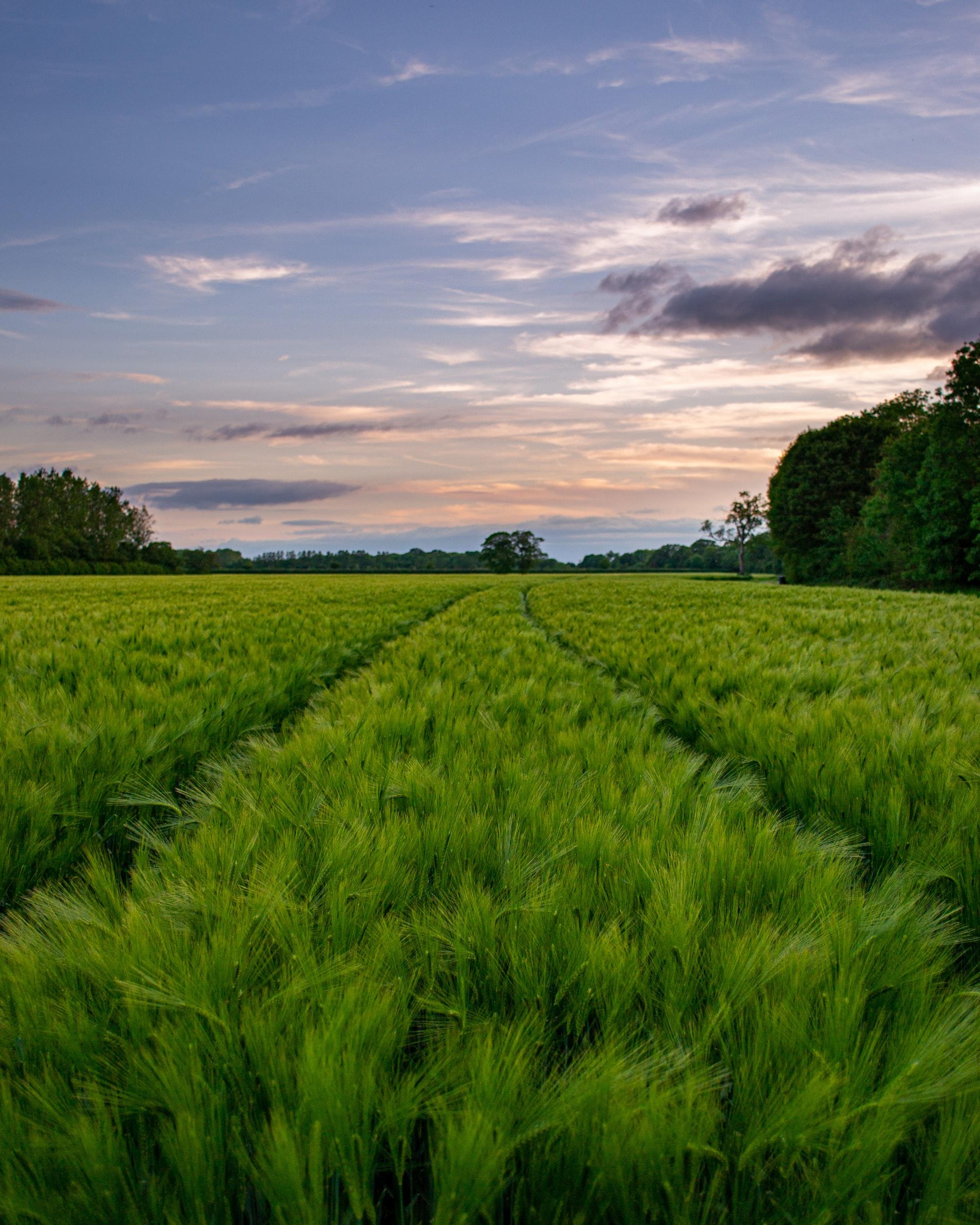 English Countryside, English Field, Farmers Field, Lone Tree, Barley Field, Sunset, English Sunset