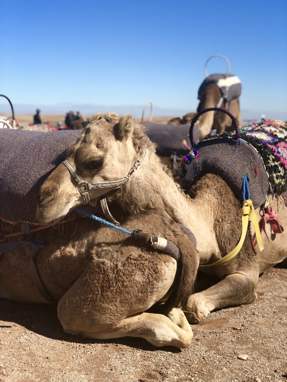 brown camel lying on brown ground under blue sky