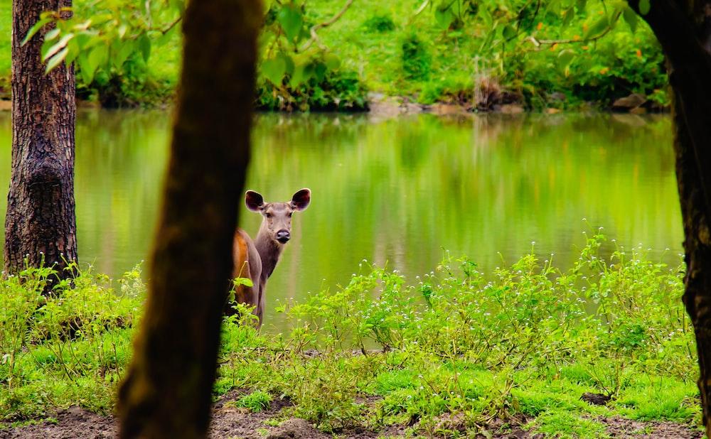 brown kangaroo standing near body of water