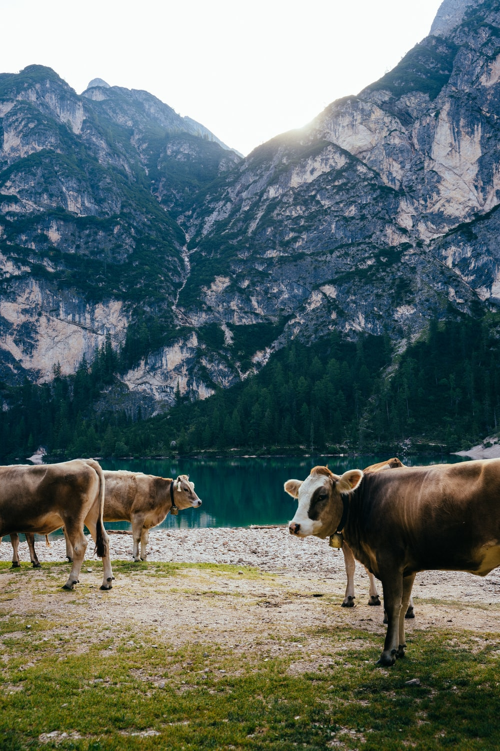 four cows standing on green grass