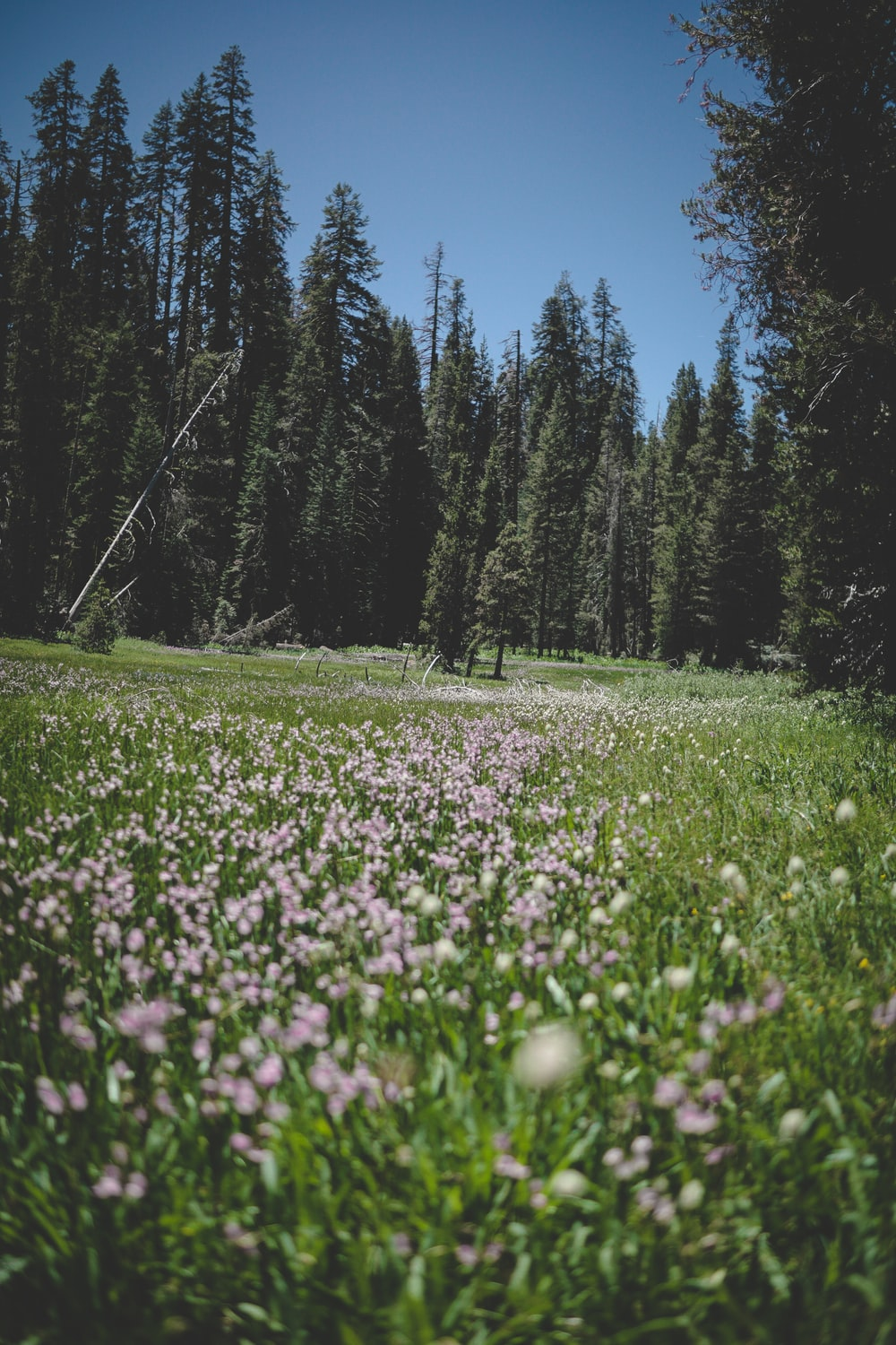 pink flower and pine tree field during daytime