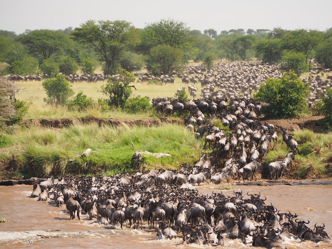 Great wildebeest migration crossing Mara river at Serengeti National Park - Tanzania
