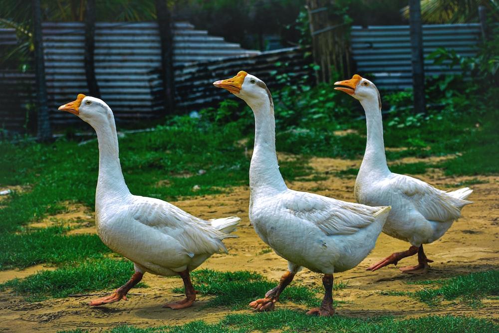 three white ducks walking