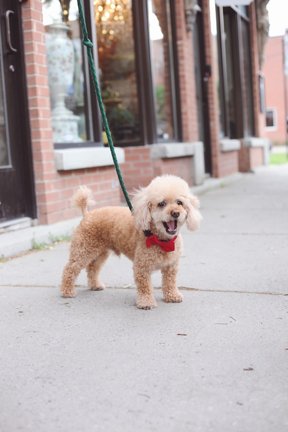 close-up photography of tan toy poodle