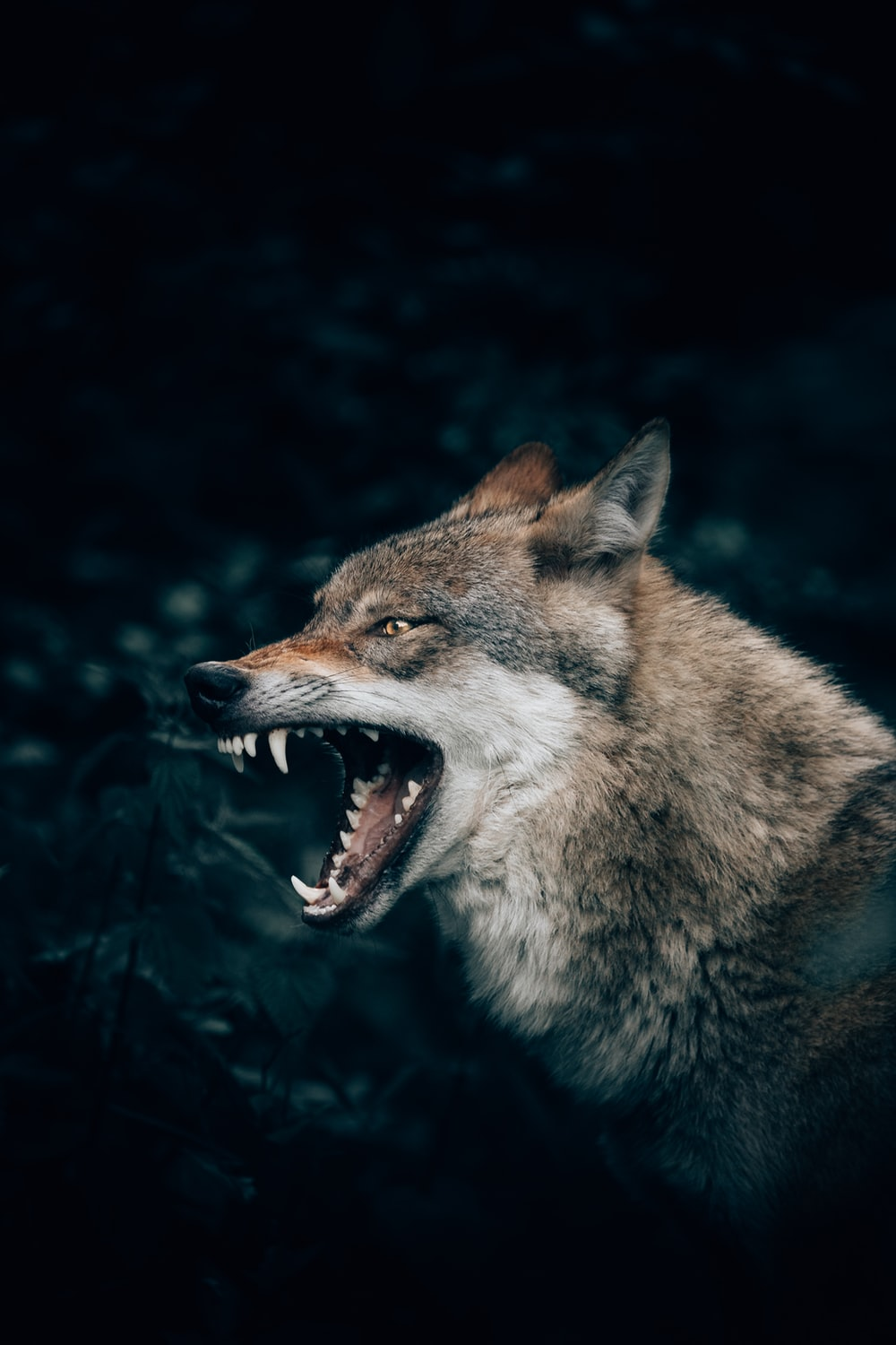 wolf with open mouth
