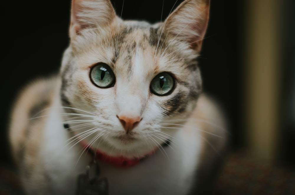short-fur white and black cat close-up photography