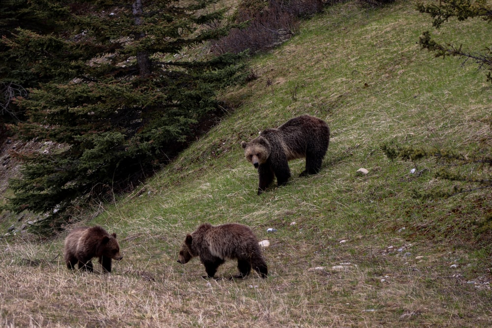 three bear in a field near tree during daytime