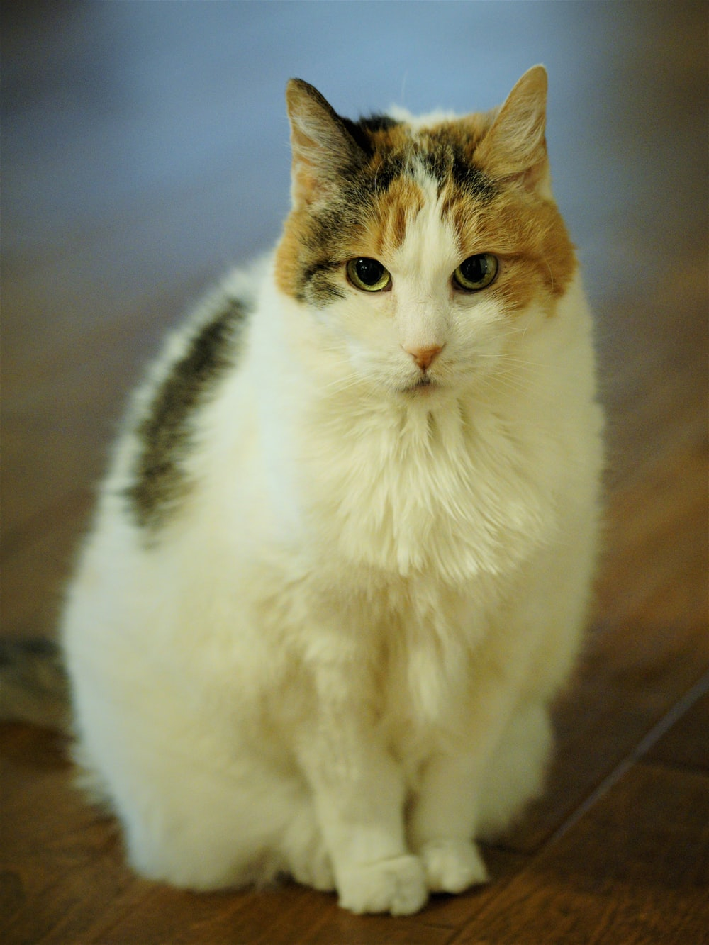 white, brown, and grey calico cat sitting on wooden floor