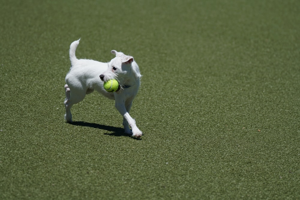 white short coated dog with ball in mouth running on grass