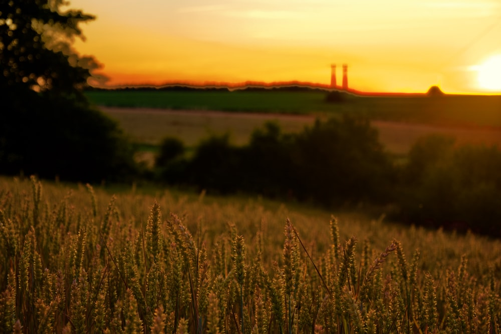 wheat field during golden hour