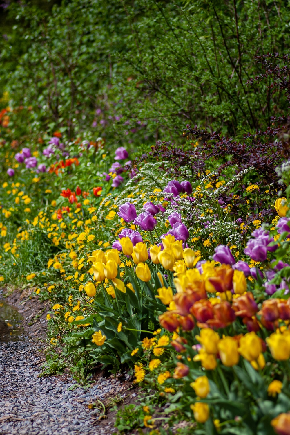 yellow, red, and purple tulip flowers