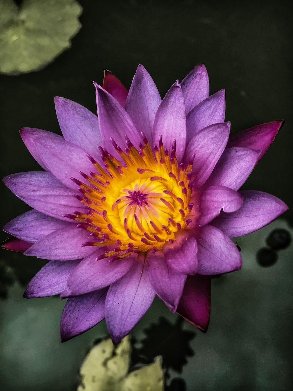 Top View Of Purple Lotus Flower Photo Free Plant Image On Unsplash