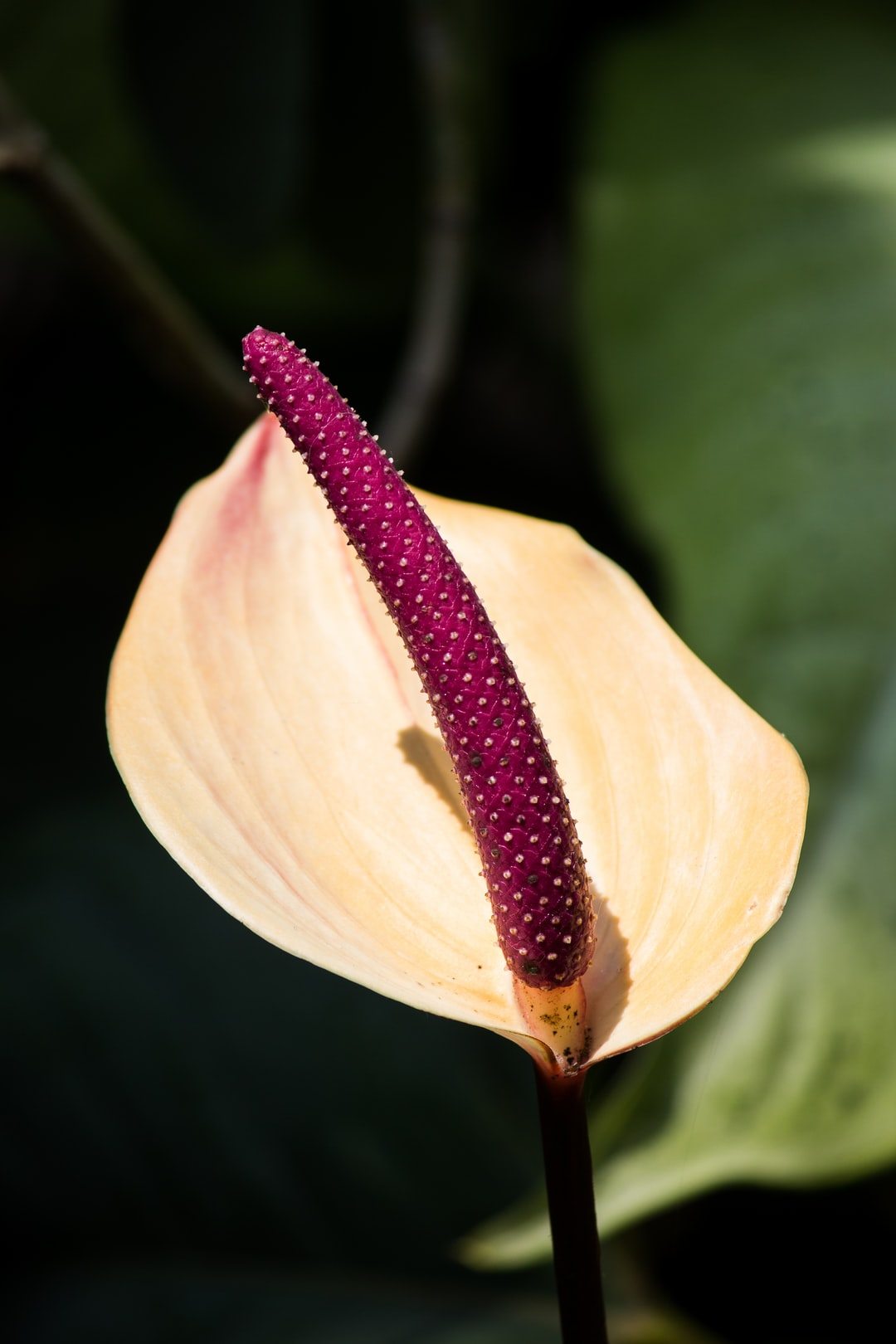 Fading anthurium blossom
