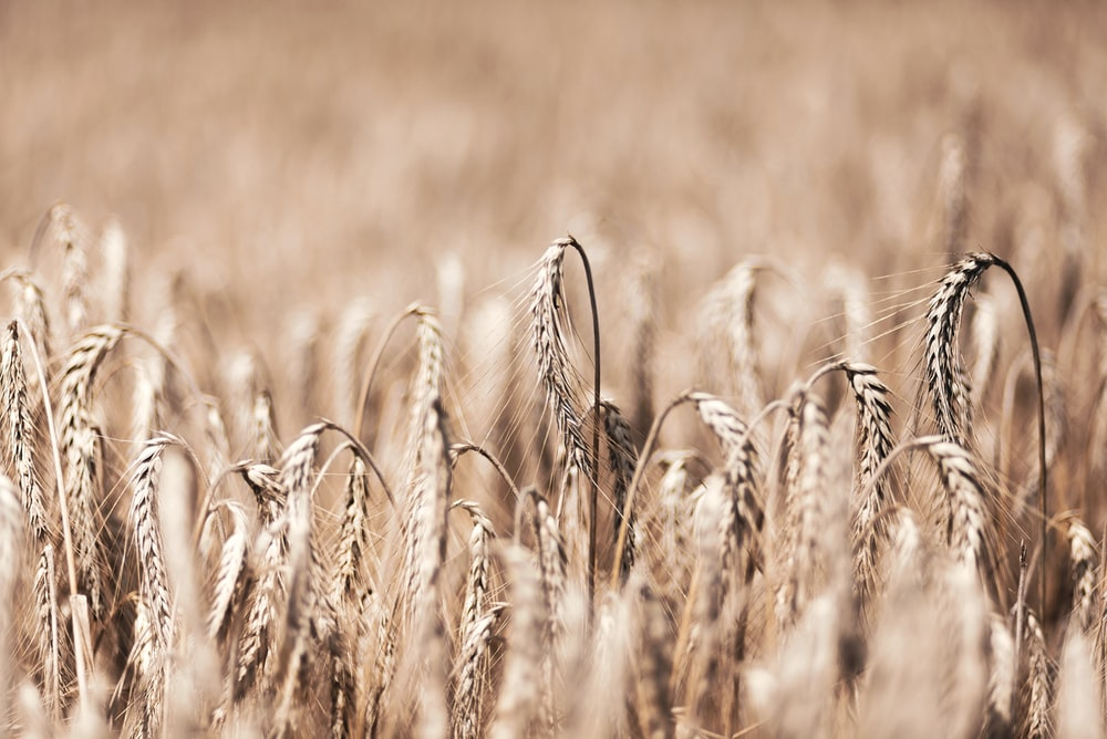 brown wheat plants