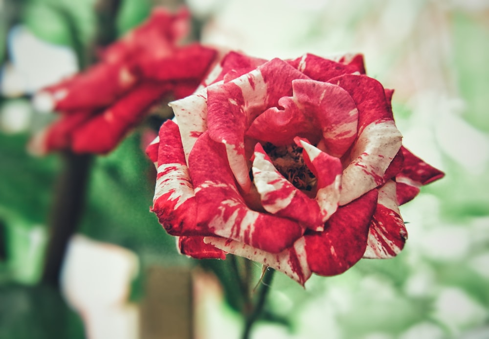 red and white rose flower in close-up photography