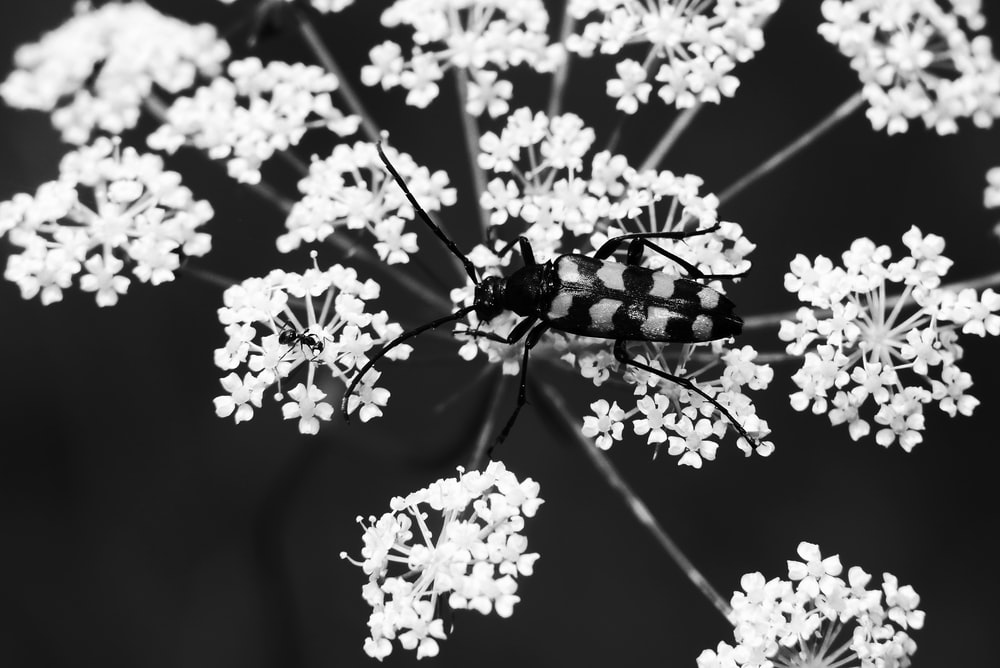 black and white insect on white petaled flower