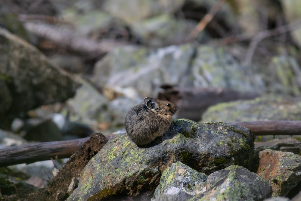 brown mouse on rock