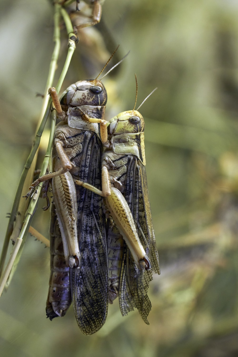 two grasshoppers perching on green leaf