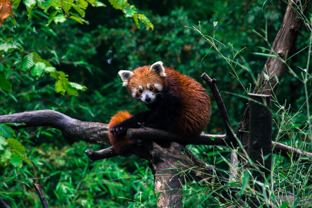 close-up photograph of red panda sitting on tree