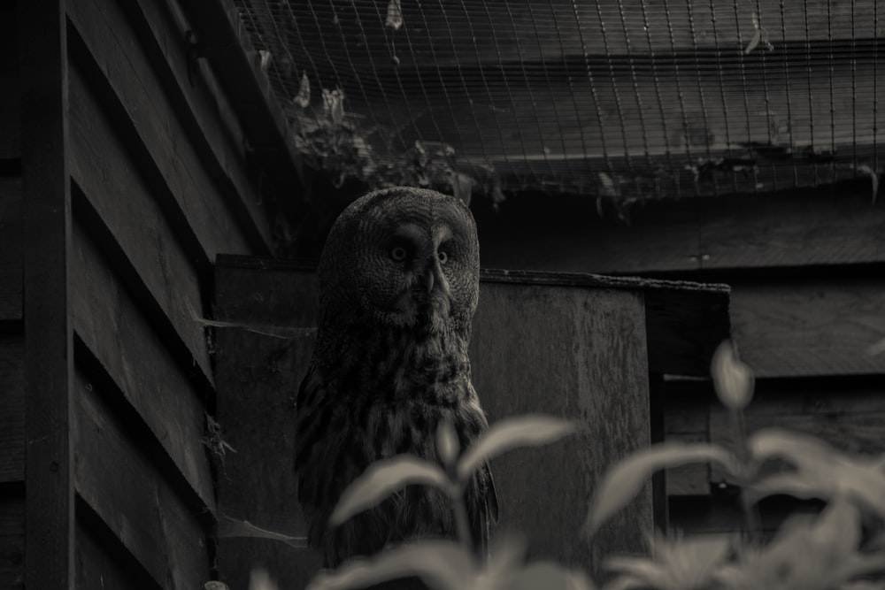 grayscale photography of owl