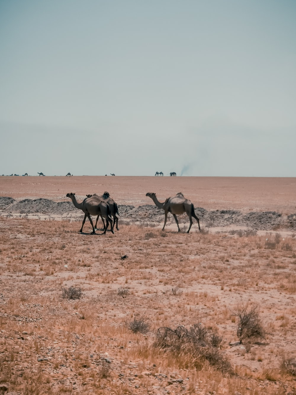 three gray camels on brown field