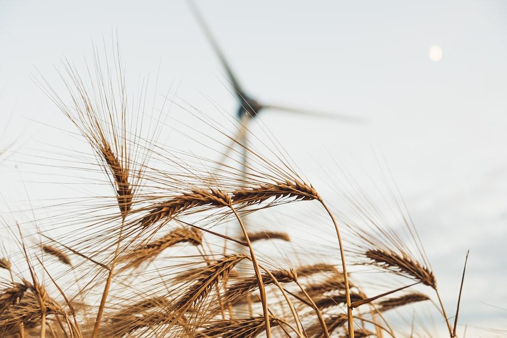 brown wheat plants