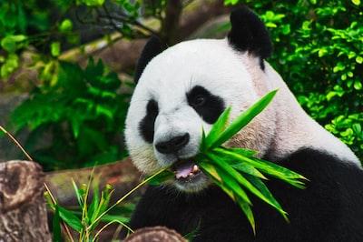 panda eating bamboo animals zoom background