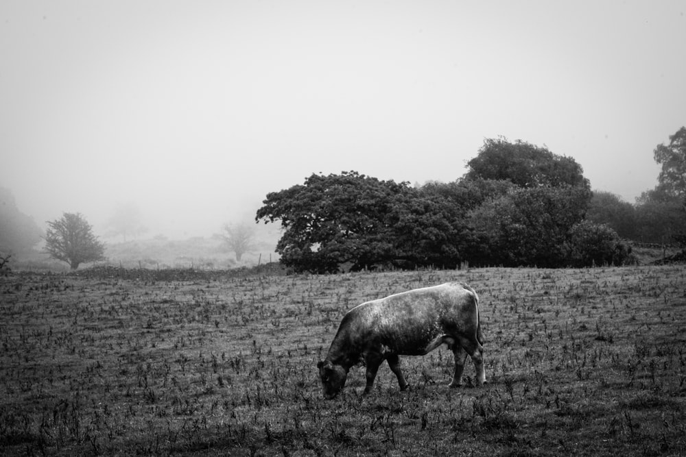 grayscale photography of mammal eating grass