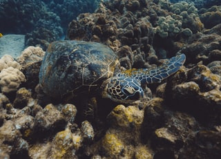 black turtle in water