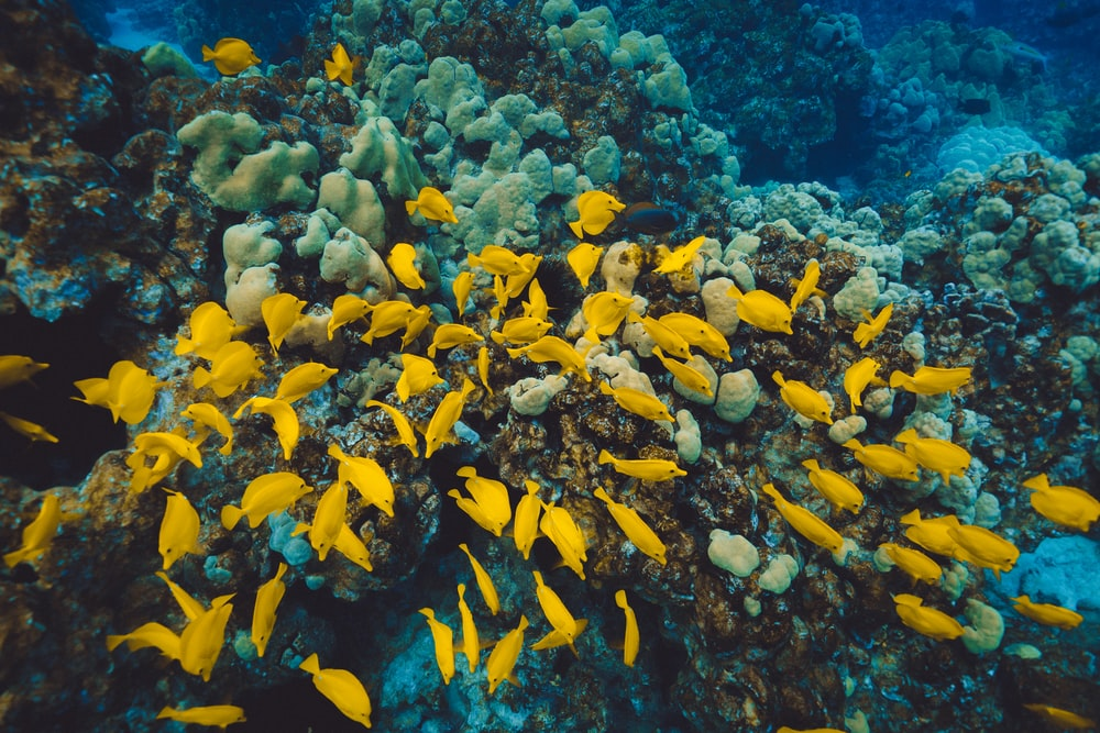 shoal of yellow tang fish