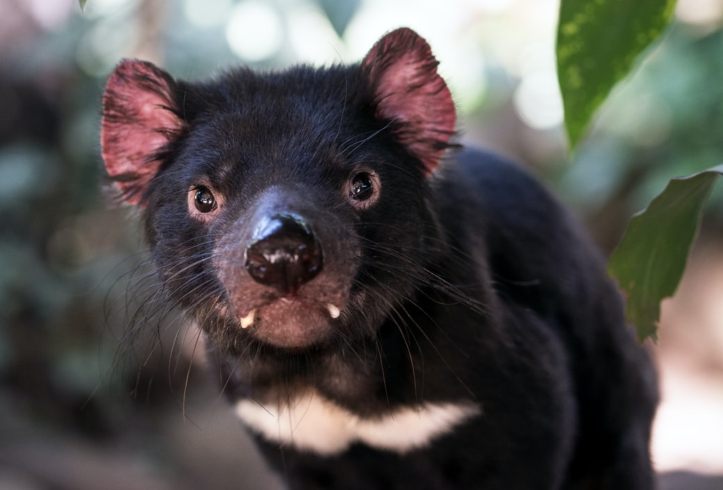 Tasmanian devil in the wild