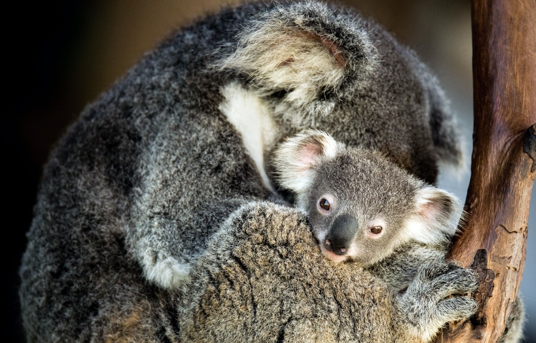 Baby Koala. This cute little guy's name is Mont Carlo and he lives at Rainforestation, Kuranda, Australia. He was born about nine months ago and has only been out of the pouch for about three weeks.