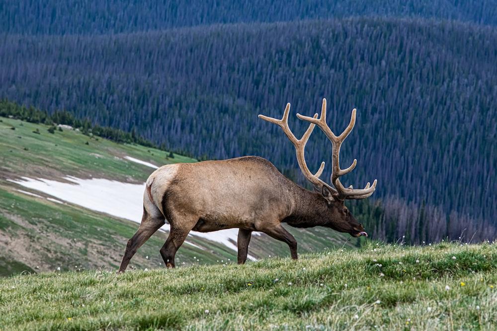 deer walking on grass field