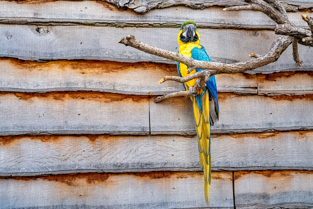 yellow and blue parrot on tree branch