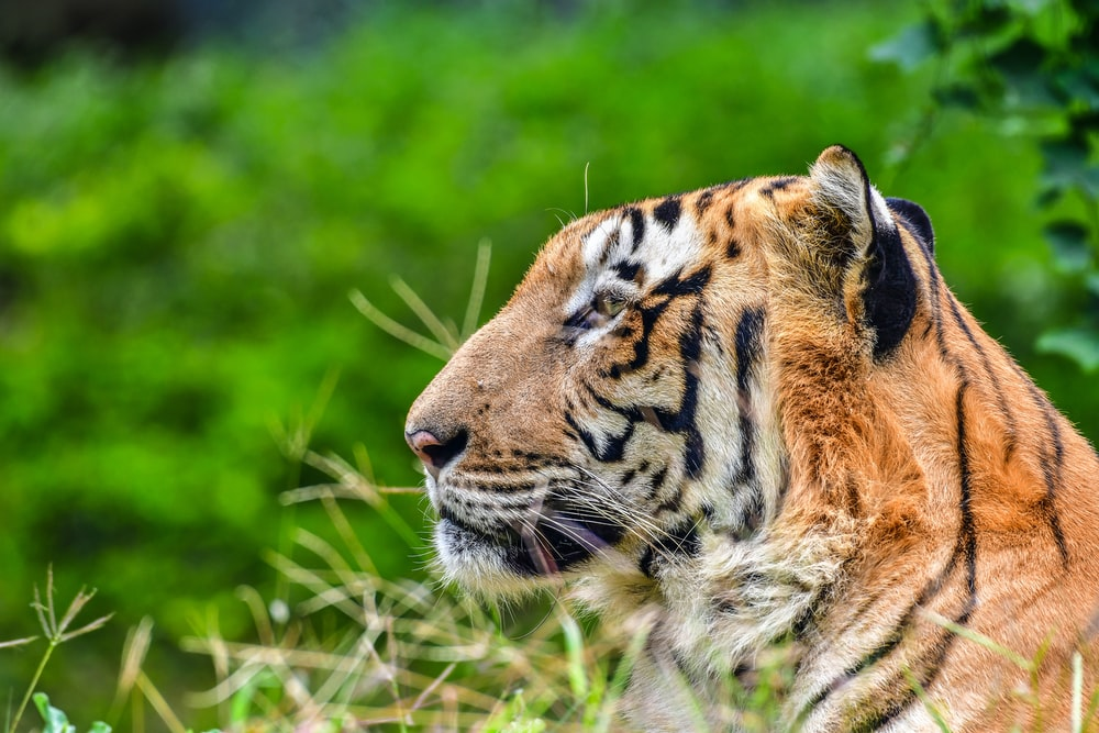 brown tiger on focus photography
