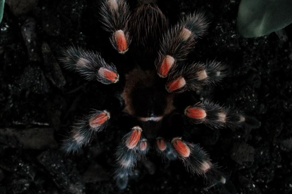 black and red tarantula