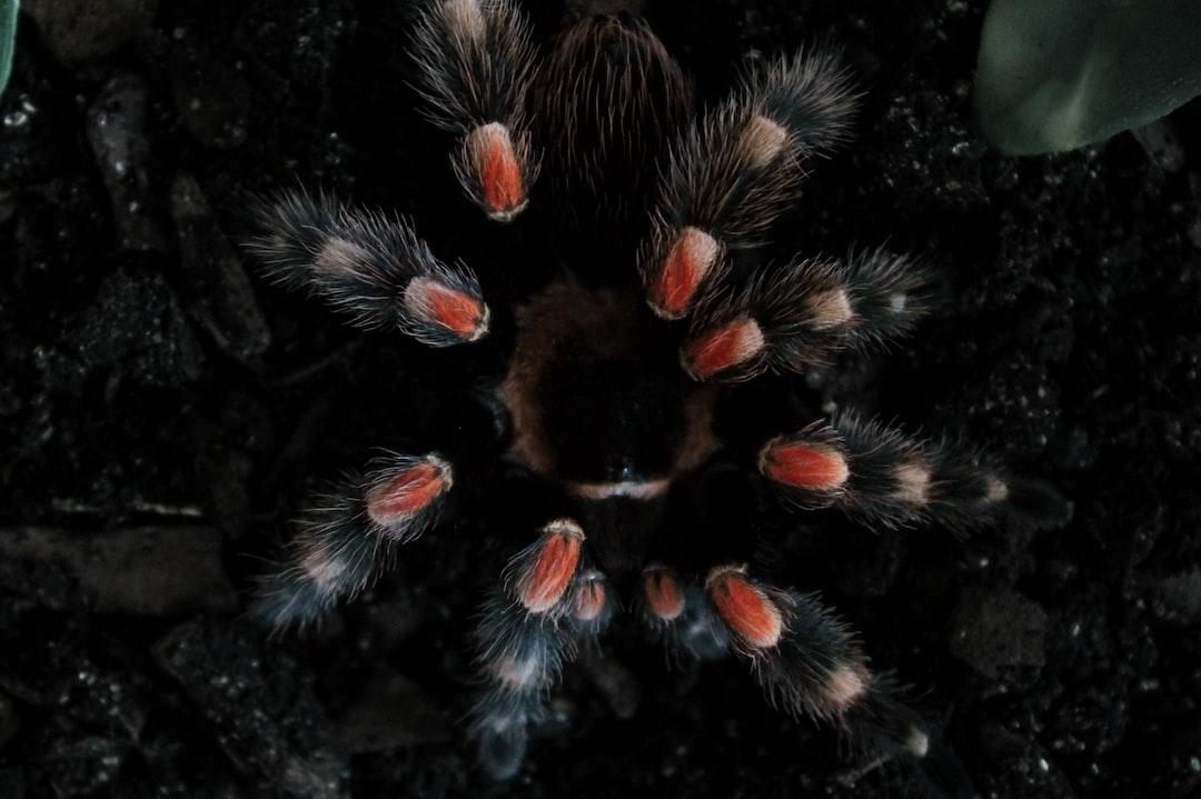 brachypelma hamorii / freshly molted