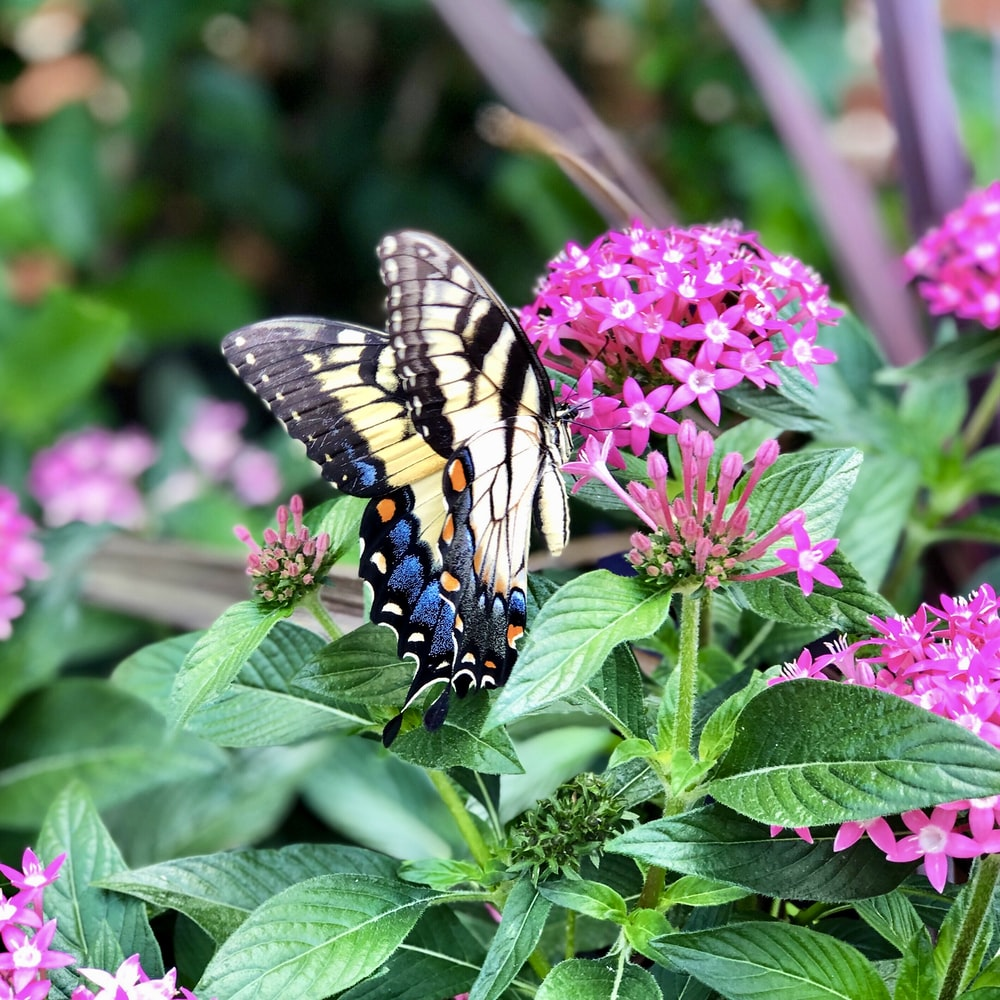 blue, black, and yellow butterfly on pink-petaled flower