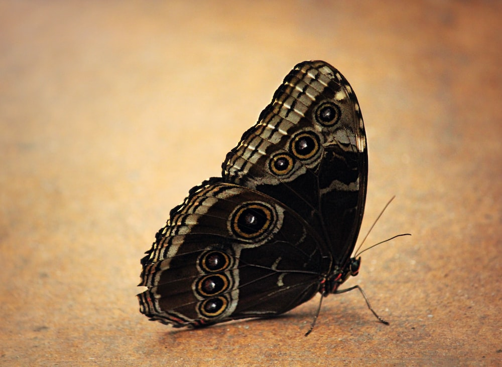 black and gray butterfly
