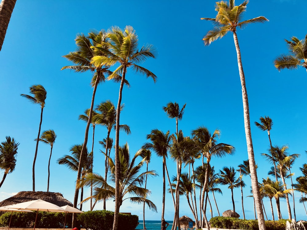 green coconut palm trees