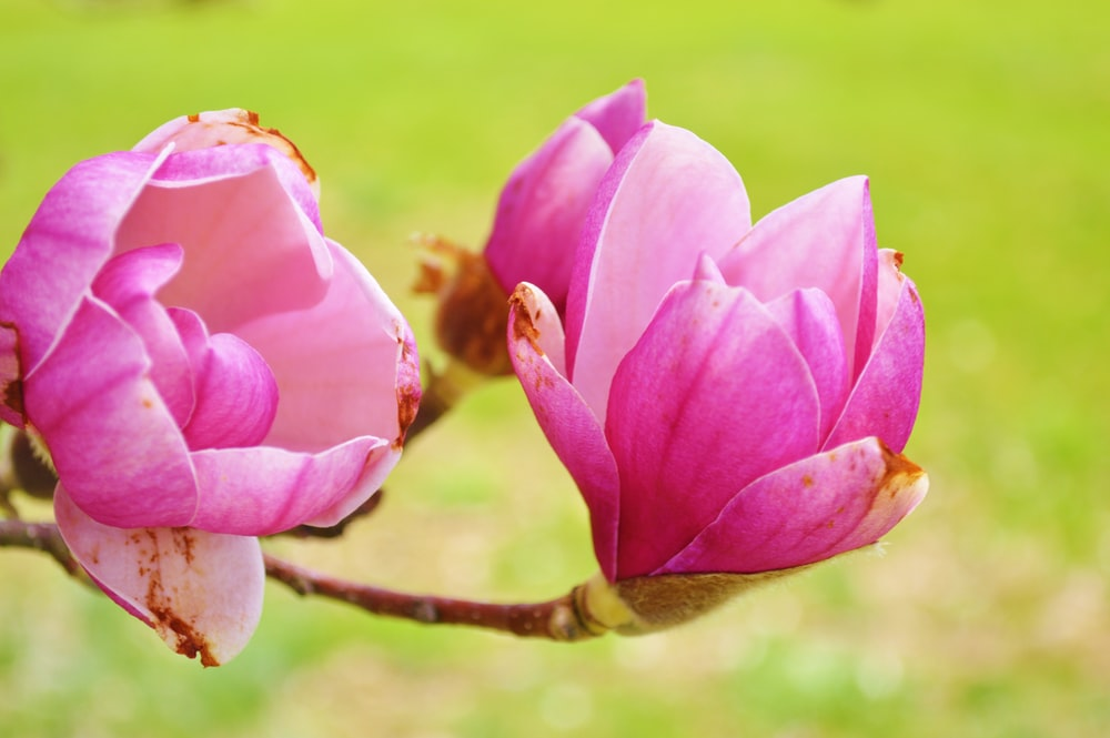 closeup photo of pink flowers